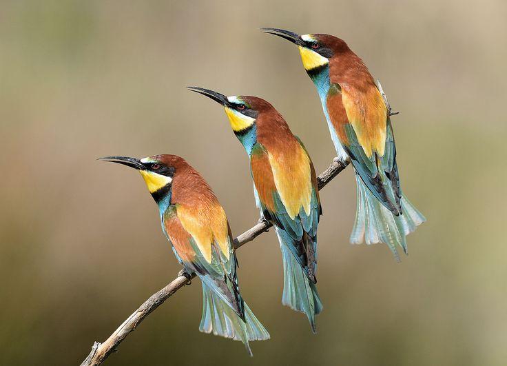 Vroege Vogels: drieling