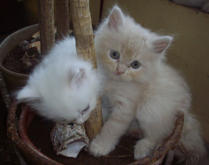 Kitten Doll Face Persian Cats I love this one. Click to see more like this!