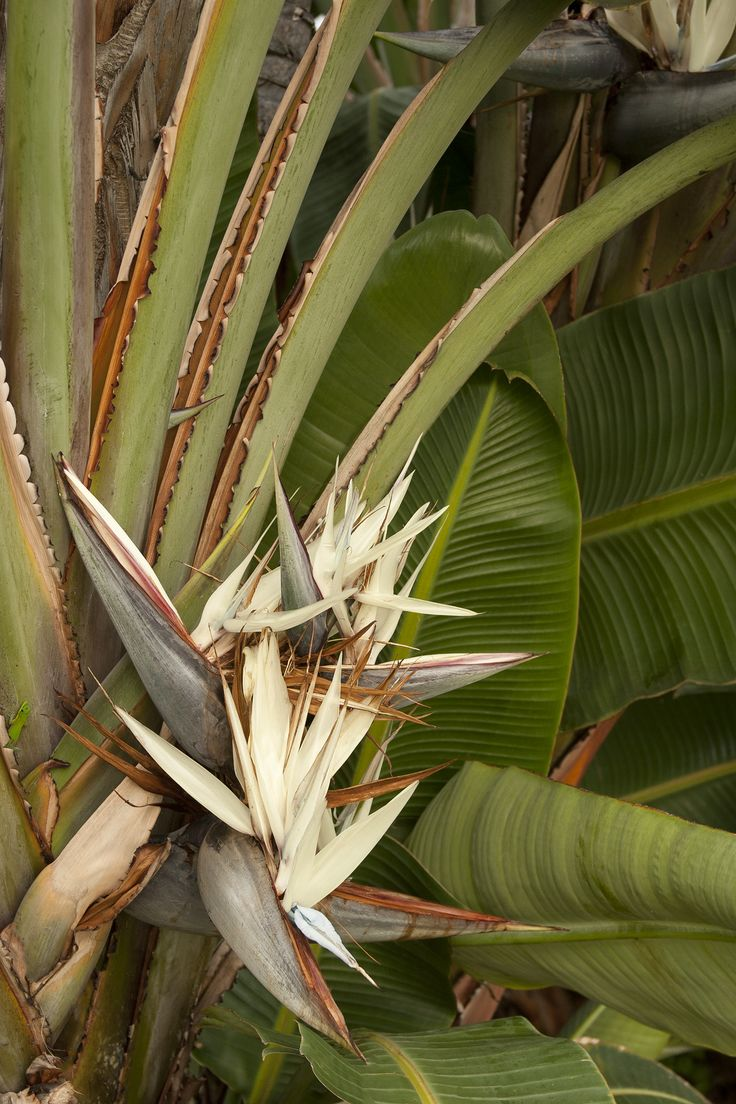Giant Bird Of Paradise is prized for its tree-like bold clumps of lush, long stalks supporting huge blue-green leaves that grow to 6 feet long, held in a fan-like formation. The extremely large bird-like flowers have white heads and blue tongues. Zone 9-11