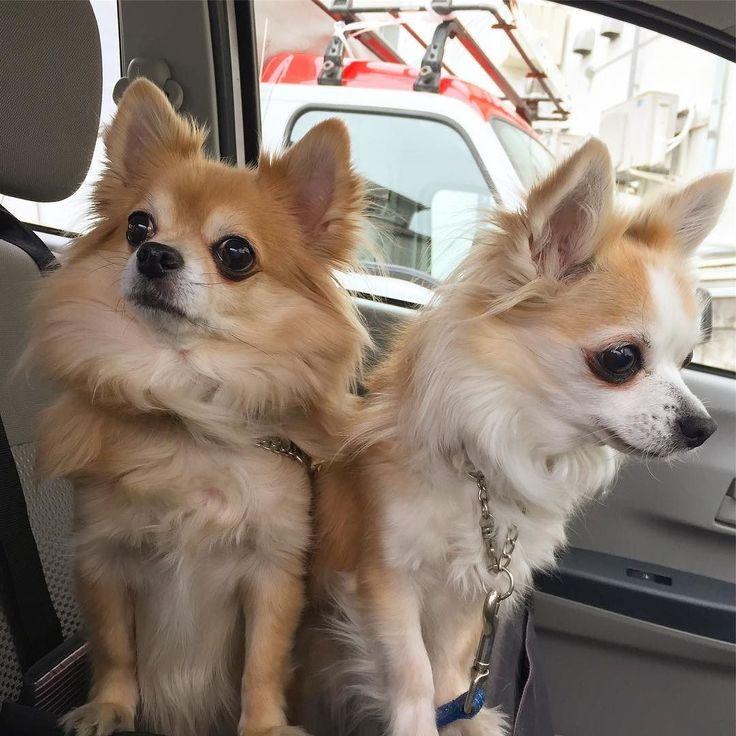 いつものみかんの定位置につっこんでみた ぎゅうぎゅうしていたけどなんとかなる  #押し寿司じゃないよ #dekachiwa #chihuahua #dog #dogoftheday #dogofthedayjp #dogsofinstagram #チワワ #ふわもこ部 #chihuahuadog #chihuahuaofinstagram #animal #onlychihuahua  #しっぽふぁさ部