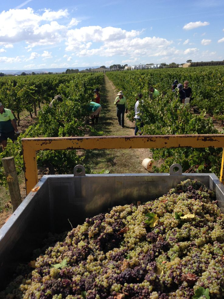 Noble Riesling being picked in the Milawa vineyard.