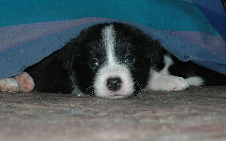 Funny Border Collie Corgi Mix Puppies Pictures