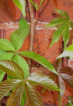 """Virginia Creeper (Parthenocissus quinquefolia """"Engelmannii"""")"""
