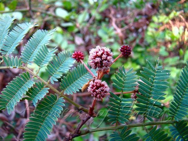Acacia Concinna fruit