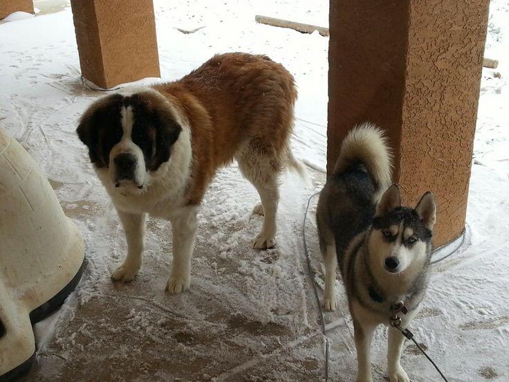Harley St Bernard And Mya Siberian Husky Love The