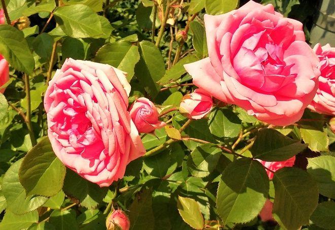 Ne hagyd lehullani a rózsaszirmokat! Készíts rózsaecetet! - Egy az Egyben