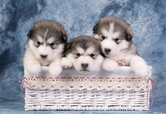 alaskan malamute puppies...will have one someday!