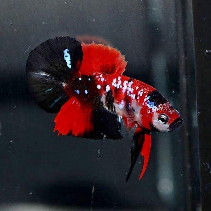 betta splendens | Tumblr #tropicalfishaquariumfreshwater