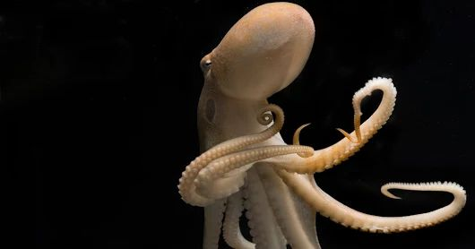 A Genetic Oddity May Give Octopuses and Squids Their Smarts  In the journal C...