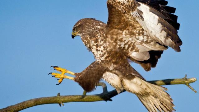 Ptaki drapieżne będą łapać niebezpieczne drony #popolsku
