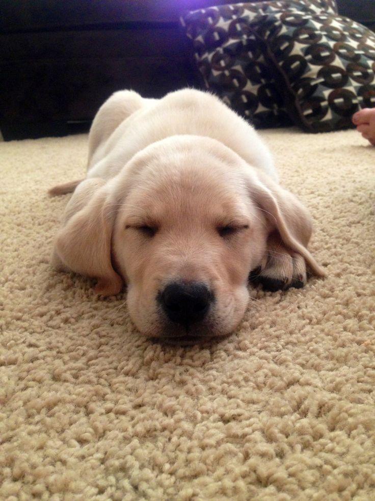 Golden Labrador puppy <3