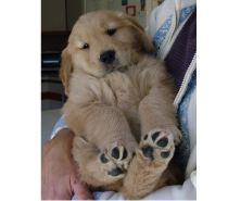 Fotos de Puros Golden Retriver Cachorros Exelentes