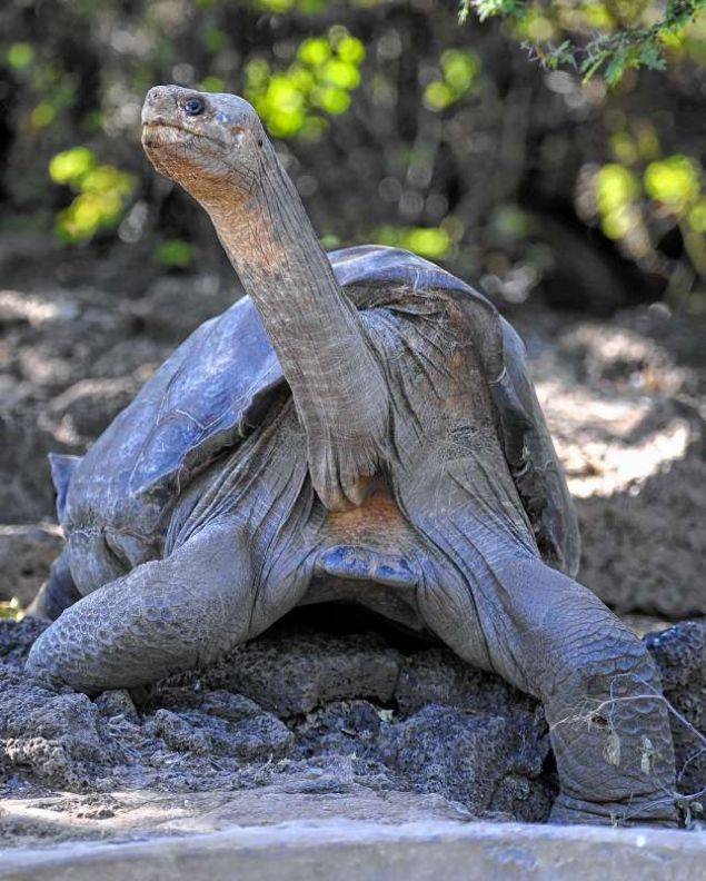 Lonesome George, the last known individual of the Pinta Island Tortoise, subspecies Geochelone nigra abingdoni, is pictured at Galapagos National Park's breeding center in Puerto Ayora, Santa Cruz island, Galapagos on March 18, 2009. Lonesome George died on June 24, 2012 at the age of 100 aproximately, making the Pinta Island Tortoise extict. :(: Tortoise, National Parks, Giant Tortoi, Pinta Islands, Lonesome George, Galapago Islands, Turtle, Islands Tortoi, 100 Years