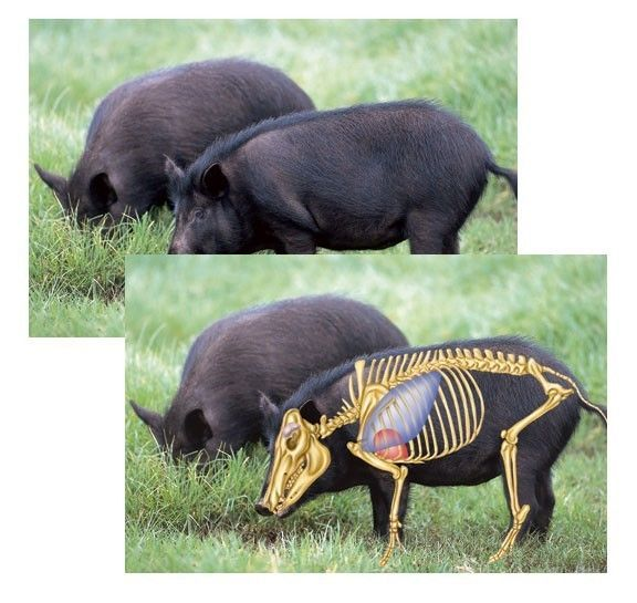 25+ best ideas about Hog hunting on Pinterest | Texas pig ...