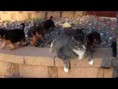 Ataque de Fofura de filhotes de cachorros ao gato preguiçoso