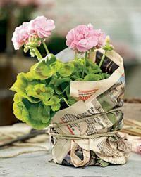 Margrethe. Pelargonium x hortorum. Kotipelargonit eli vyöhykepelargonit ovat yleisin pelargoniryhmä | Tunne pelargonit | Koti ja puutarha