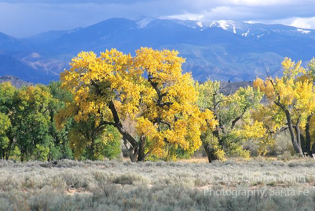 A copse of Rio Grande cottonwoods in fall color glow near Espanola, New Mexico withthe snowy Sangre de Cristo Mts in in the background