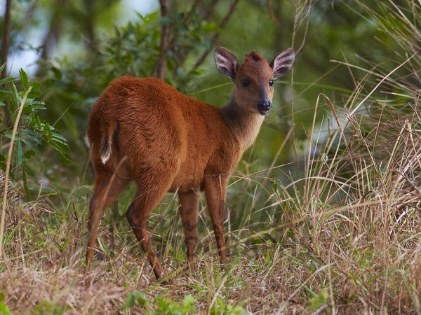 Today we bring you the next installment of #WildlifeWednesday, the Red Duiker. Showcasing the variety of animals located around the San Lameer Estate. The red forest duiker, Natal duiker, or Natal red duiker is a small antelope found in central to southern Africa. It is one of 22 extant species form the subfamily Cephalophinae. While the red forest duiker is very similar to the common duiker, it is smaller in size and has a distinguishing reddish coloring. Additionally, the red forest duiker…