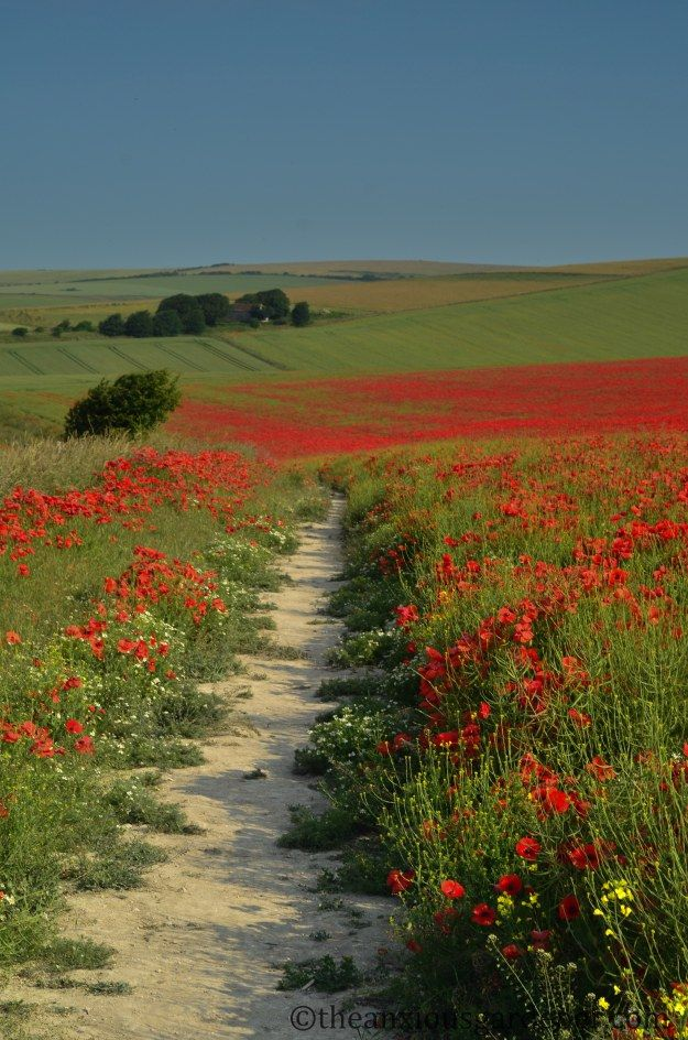 Chalk downland produces masses of wild flowers like these poppies on the downs