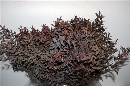 Euca. Parvifolia Rood Kort 150gr Pbs Height: 45cm Quantity: 2 bunches Price: £15