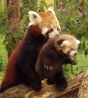Red panda and the cub