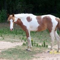 2 yr old Filly for sale in Spalding, Georgia, United States of America :: HorseClicks