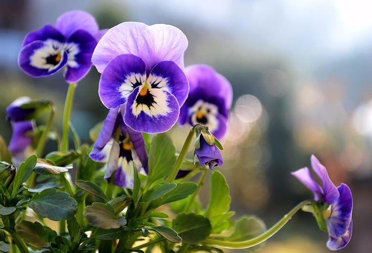 SOUND: https://www.ruspeach.com/en/news/14023/     Анютины Глазки - это трёхцветная фиалка, цветок популярный в Европе и Азии. Этот цветок служит для декорирования клумб, садов и парков. Этот цветок также используется как лекарственное растение, которое борется с кашлем. В составе этого красивого растения есть салициловая кислота, широко применяемая в медицине.     Aniuta`s eyes (heartsease) is a three-colored violet, a flower popular in Europe and Asia. This flower serves fo