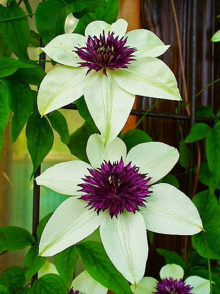 ~~Clematis florida 'Sieboldii'~~ These are beautiful!