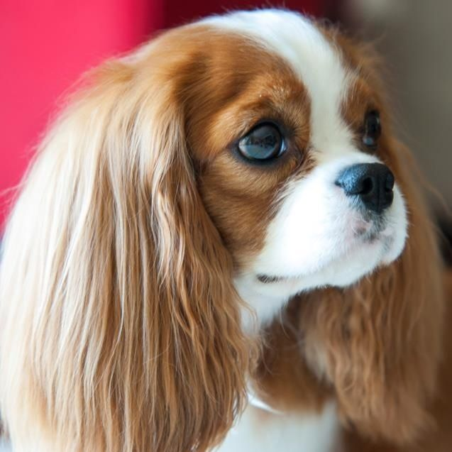 Beauty Cavalier King Charles Spaniels Puppy Dogs