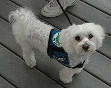 Perro de terapia - Wikipedia, la enciclopedia libre