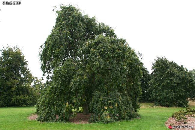 Fraxinus excelsior pendula - Frêne pleureur