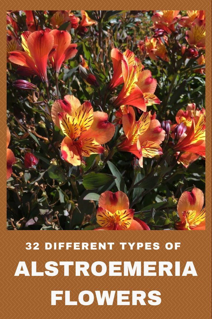 32 Different Types Of Alstroemeria Flowers Alstroemeria Flowers Lily Garden
