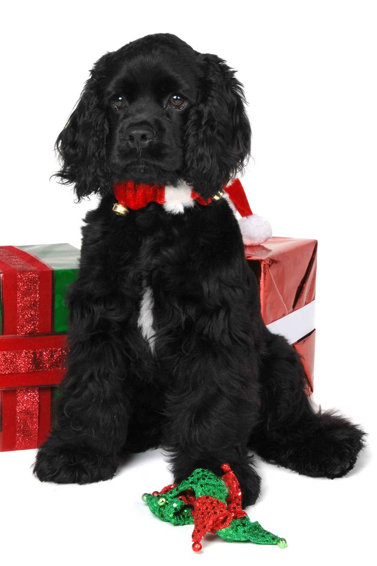 A Christmas Newf....wait till he grows up...years of joy and love