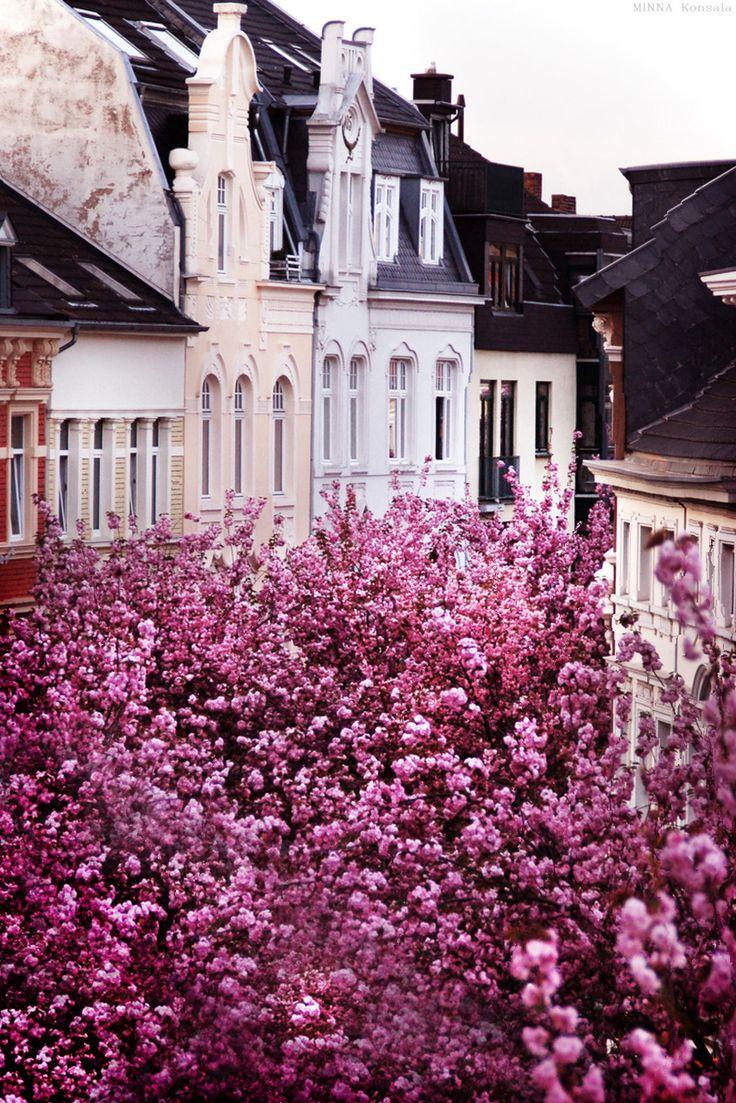 cherry blossom in bonn, germany.