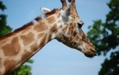 Genome Sequencing Reveals Differences Between Giraffes and Ocapis