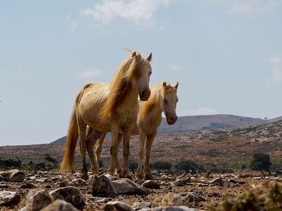 skyros island horse: http://skyrosislandhorsetrust.com/conformation-of-the-skyrian-horse/