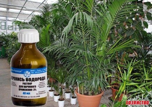 Я опрыскиваю свои комнатные цветы и даже рассаду слабым раствором перекиси водорода. Результат – красивые, зеленые листья и мощный рост. Не знаю, почем растения именно так реагируют на опрыскивание…