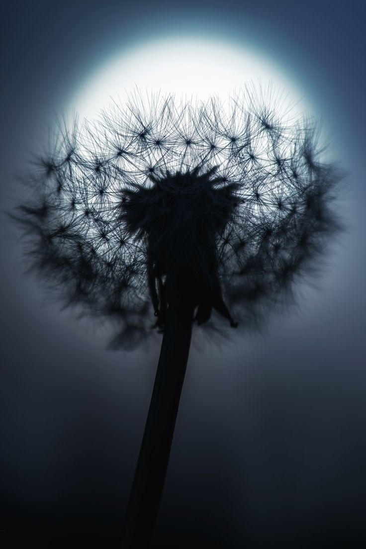 Moonlight and dandelion And a good example of why you should watermark photos that you take