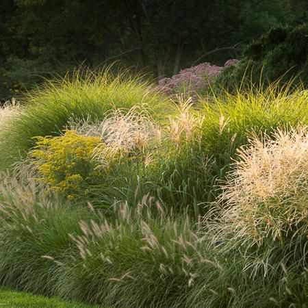 Beautiful mass of ornamental grasses.                              …                                                                                                                                                                                 More