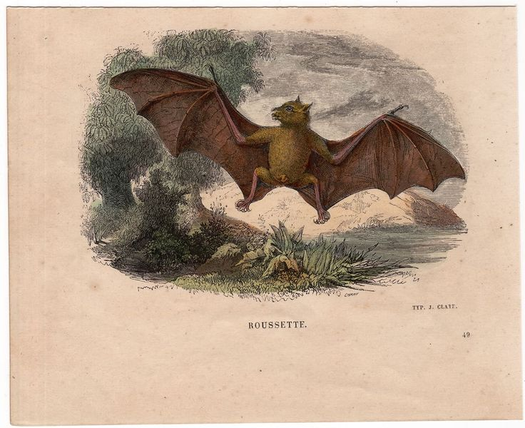 1860 BAT FLYING print original antique hand colored chiroptera engraving - ROUSSETTE BATs by antiqueprintstore on Etsy