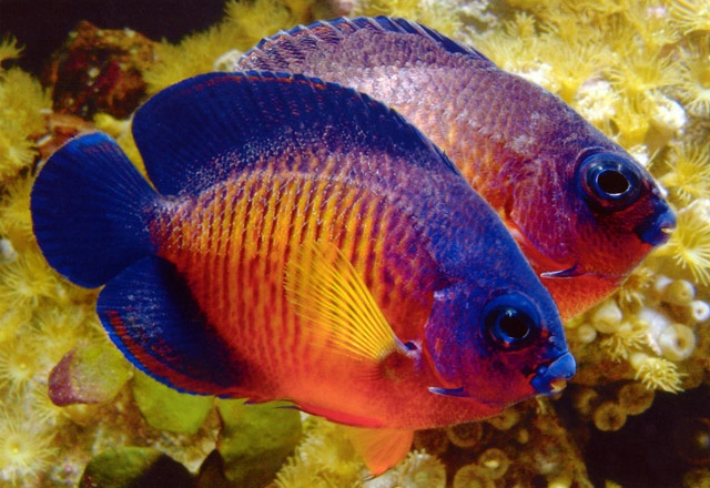 Coral Beauty Angelfish | Super Sea Creatures | Pinterest