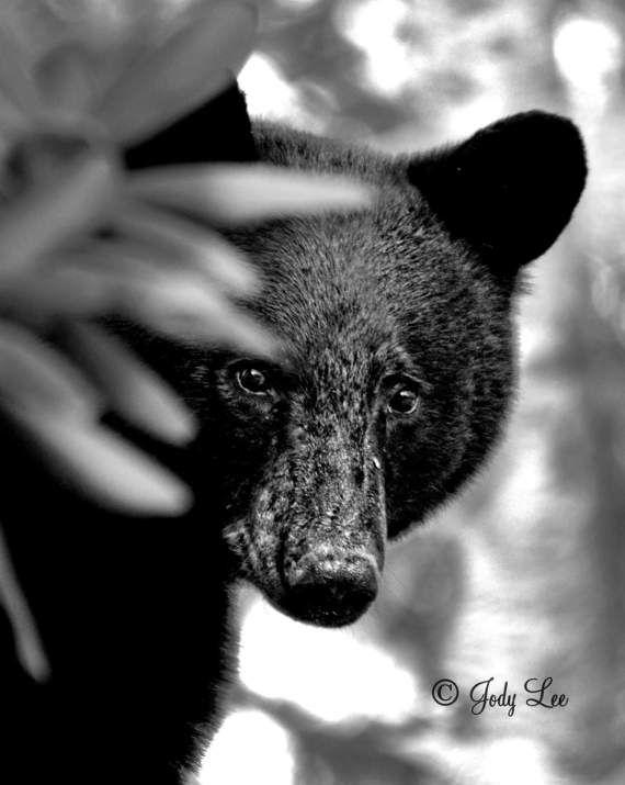 Bear Black Bear Nature photography North Carolina by Putterpaws