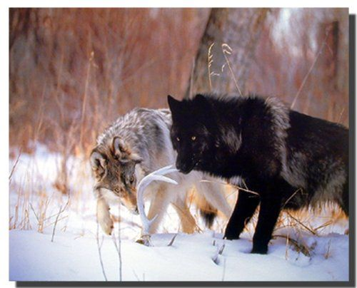 Enliven your living quarters with this wild black and gray wolf animal art print poster. This stunning piece of art depicts the image of two wolf walking in a snow field will be a great addition to your home decor. Your guests will definitely compliment you for your excellent taste. Grab this wonderful poster fir its high quality and excellent color accuracy.