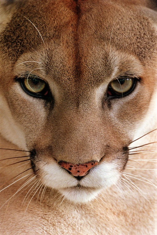 Mountain lion face, beautiful... by Frans Lanting