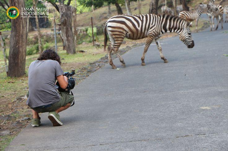 natural behave of Zebra....