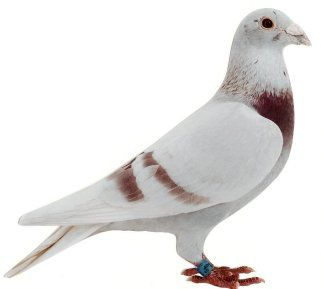 How to Read Pigeon Bands