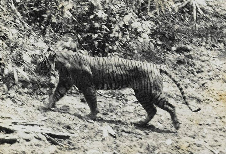 Javan tiger, presumed extinct, maybe due to encroachment by swelling human population on the island of Java