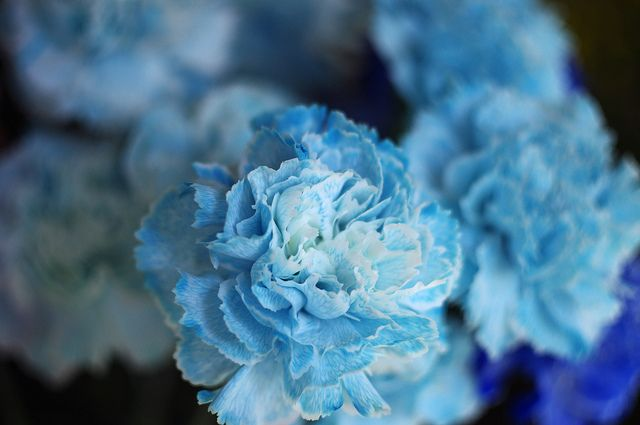 Blue Carnation  Eternal Love ..
