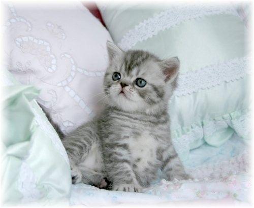 Persian kittens for sale johannesburg