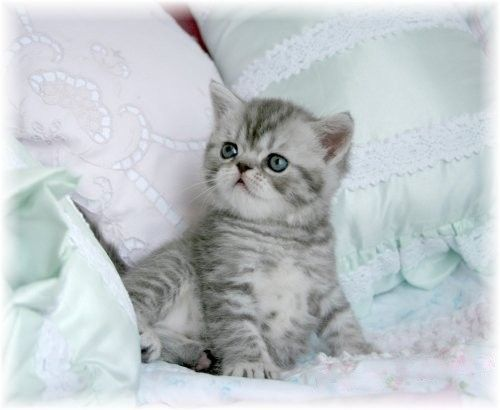 persians persian cats for sale persian kittens shorthair persian ...